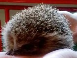 Hedgehog Rescue Rochdale Logo