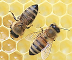 Oldham and District Beekeepers' Association Logo
