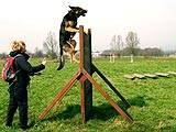 Chiot demonstrating how to get over a scale on a Working Trial training day Image
