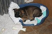 Seven-week-old puppy is sound asleep so we can leave him in his pen for the night - Puppy Diary: Raising a working dog 2014