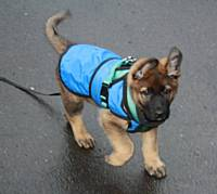 The puppy has a long line attached to a harness so that he can be kept safe - Puppy Diary: Raising a working dog 2014