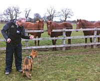 Kato and horses - Puppy Diary: Raising a working dog 2014