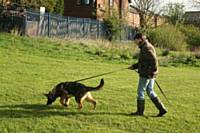 Kato is following the footsteps of a track  - Puppy Diary: Raising a working dog 2014