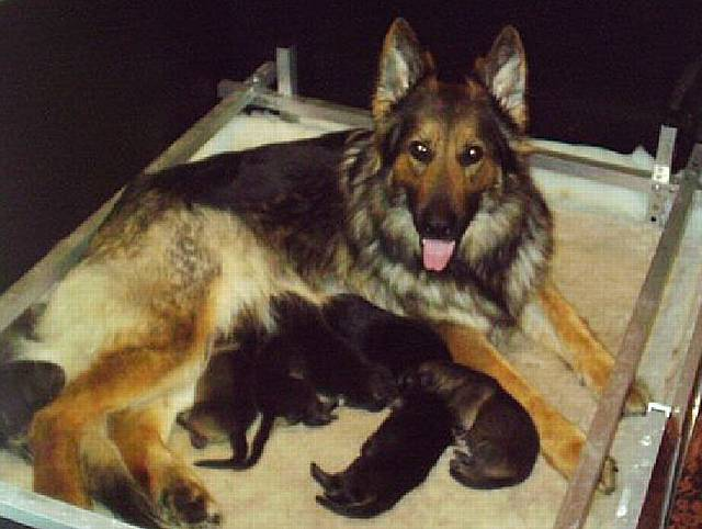 Happy family. Ruby and her puppies before the training process begins