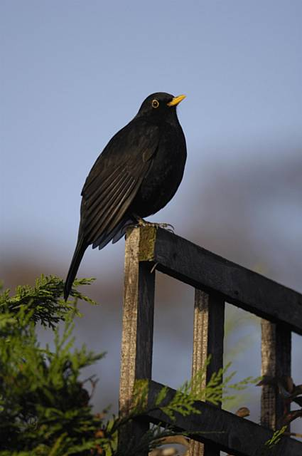 A male Blackbird perched on garden fence