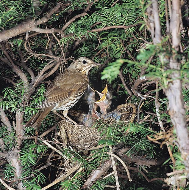 Song thrush on nest