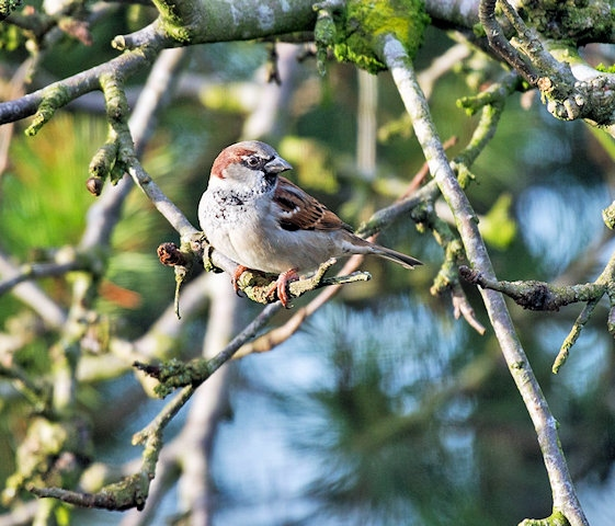 House sparrows in your garden are a great sign that local wildlife is doing well
