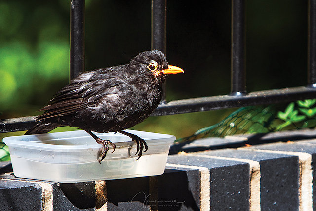 Blackbird coming for a drink from a plastic tub full of water