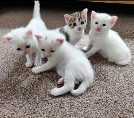 Three-week-old kittens at Bluebell Cat Rescue, Littleborough
