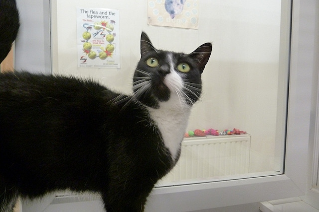 Laila, one of the rescue cats at RSPCA Rochdale & District
