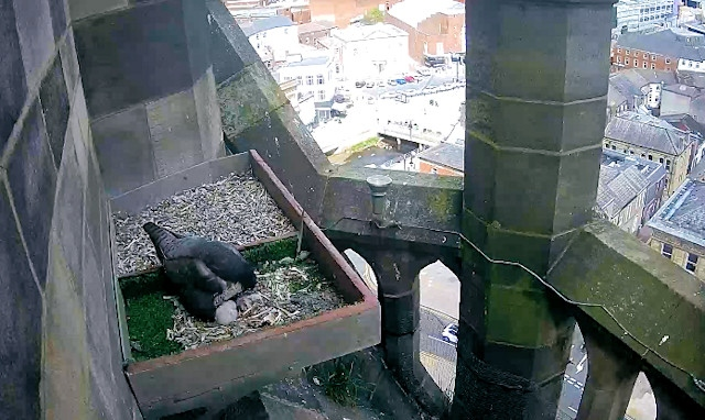 Rochdale's peregrine falcon nest in the town hall clock tower