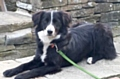 Molly a two-year-old Border Collie lost Sunday 5 November Manchester Road, Castleton