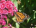 Rare Monarch butterflies seen in Rochdale Cemetery at the Garden of Remembrance