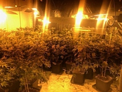 Cannabis plants seized in Castleton