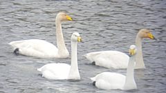 Whooper Swans are different from the resident Mute Swan, the most instantly recognised feature is the big yellow and black beak