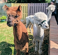 The Calderbrook Alpacas at The Willows Dementia Hub