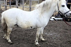 One of the horses found crippled at the stables off Duchess Street in Oldham