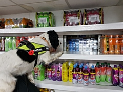 Wagtail dog Pippa finding the stash