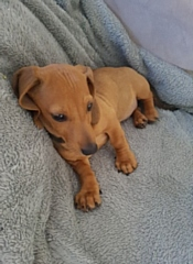 12-week old tan Dachshund puppy