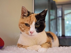 Georgie is being cared for at the Cats Protection Adoption Centre in Glasgow